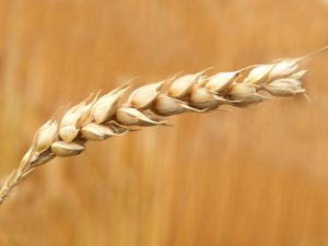 The Growing of Genetically Modified Crops in the UK